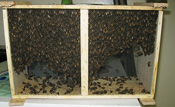 What are the risks and rewards of a Italian package of bees?
