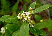 galberry