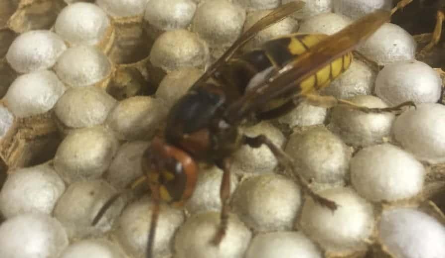 Enemy of the Honey Bee!  European Hornet Nest Examined