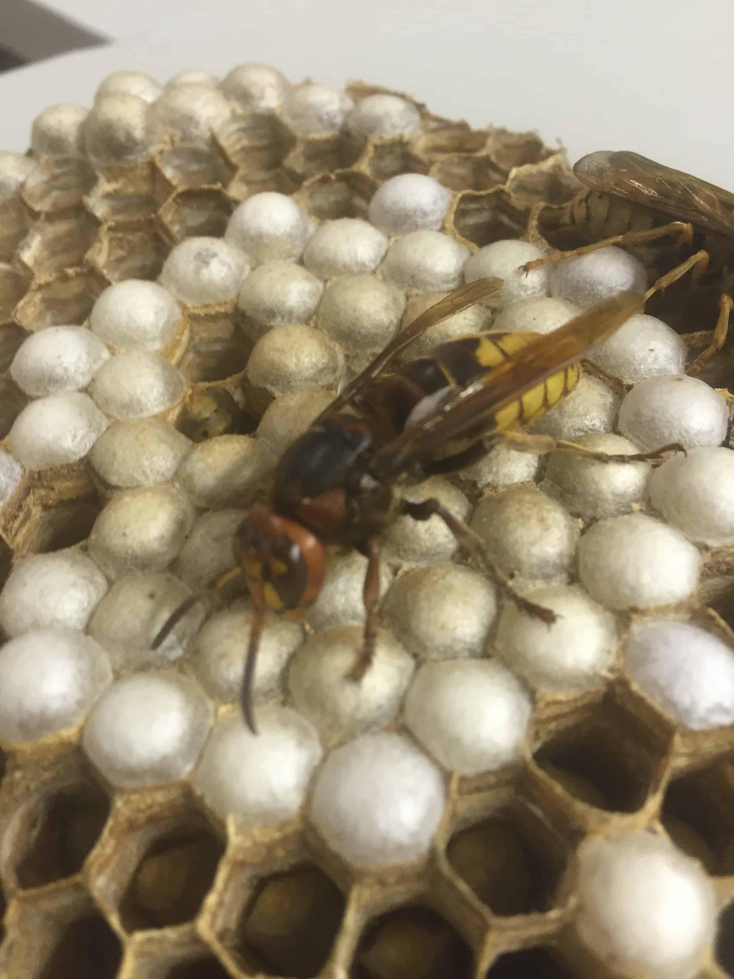 enemy of the honey bee european hornet nest examined