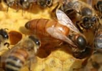 We offer new open mated Italian Queen Bees.