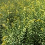 Why is Goldenrod so important for your bees?