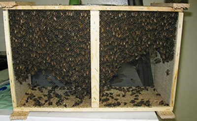 Installing a Package of Bees