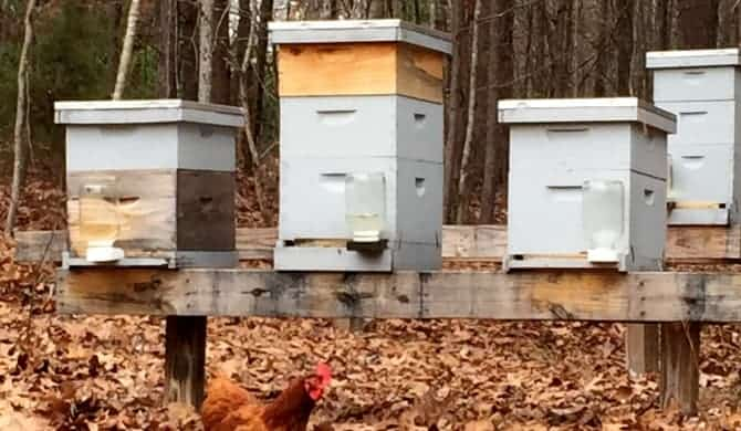 Honey Bees & Chickens-Friend or Foe?