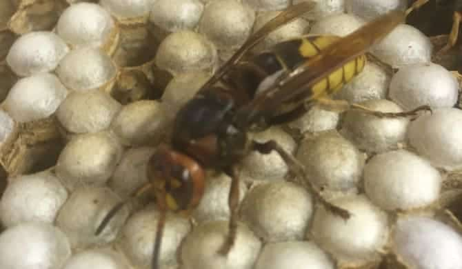 Enemy of the Honey Bee!  European Hornet Nest Examined