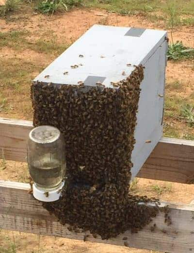 Why do beekeepers start a new colony in a nuc box?